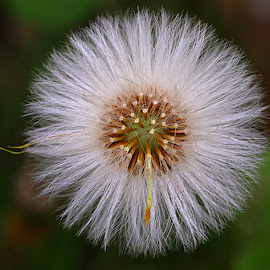 Coltsfoot Seeds by Chrissie Barrow - Nature Up Close Other Natural Objects ( circular, nature, coltsfoot, white, brown, round, seeds, bokeh, closeup, seedhead )