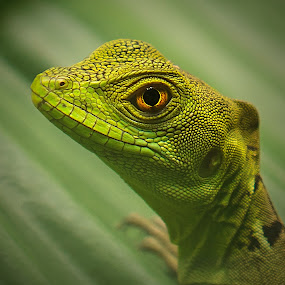 The eye's have it! by Bill Killillay - Animals Reptiles ( greens, lizard, macro, costa rica, eyes )