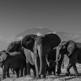 Asymmetrically yours by Jaideep Abraham - Black & White Animals ( elephants, amboseli, elephant, safari, kenya, wildlife, kilimanjaro, tanzania, africa )