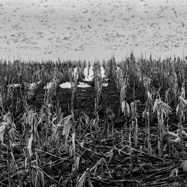 End Of Corn by Sheen Deis - Black & White Flowers & Plants ( black and white, geese, corn, fields )