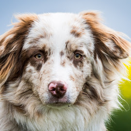 by Crazy  Photos - Animals - Dogs Portraits