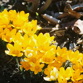 Crocus by Nancy Bowen - Novices Only Flowers & Plants ( crocus, line, yellow, spring )
