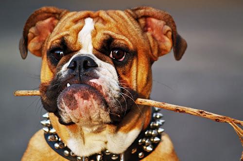 Cali Being Cute by Jimmy Crook - Animals - Dogs Portraits ( girl, englishbulldog, puppy, cute, dog, pretty,  )