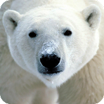 Polar Bear Live Wallpaper HD APK Image