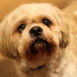 Yes? by Max Turner - Animals - Dogs Portraits ( pet, shih tzu, dog, portrait )