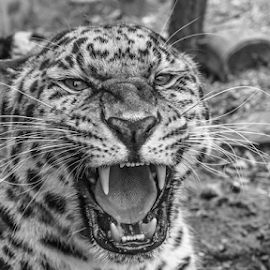 Leopard by Garry Chisholm - Black & White Animals ( leopard, nature, cat survival trust, welwyn, garry chisholm )