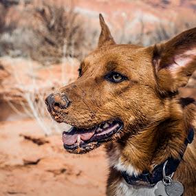 Desert Dog by Mat Hockett - Animals - Dogs Portraits