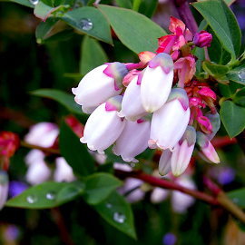 Blueberry Bush with Blossoms by Jane Spencer - Nature Up Close Trees & Bushes ( fruit, blueberry, bush, water droplets, spring, rain, blossoms )