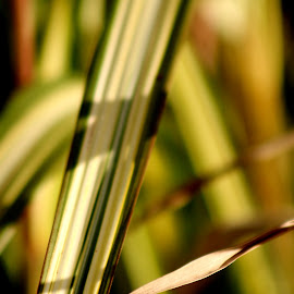 Stripes by Leah Zisserson - Nature Up Close Leaves & Grasses ( grass, gardens, green and white, striped, leaves )