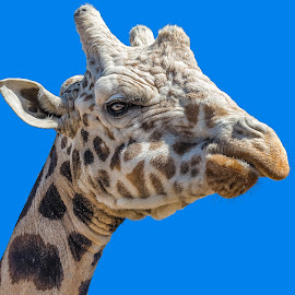 Giraffe by Dave Lipchen - Animals Other Mammals ( giraffe )