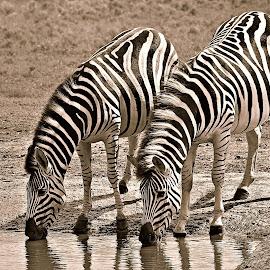 Two Zebra by Pieter J de Villiers - Black & White Animals ( water, mammals, two, animals, drinking, drink, black & white, zebra, waterhole )