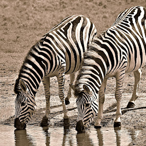 Two Zebra by Pieter J de Villiers - Black & White Animals ( water, mammals, two, animals, drinking, drink, black & white, zebra, waterhole )