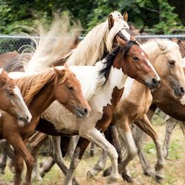 Horses in a row.  by Carol Ward - Animals Horses ( wild pony sale, pony swim, horse round up, chincoteague, wild horses,  )