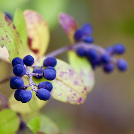 by Elena Stanescu-Bellu - Nature Up Close Other plants ( blue, colors, green, fall, berries )
