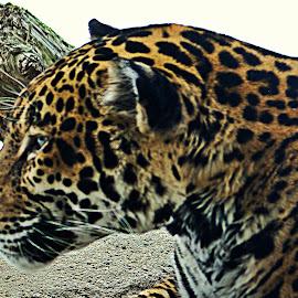 Jag by Kristin Patota - Animals Lions, Tigers & Big Cats ( big cat, jaguar )
