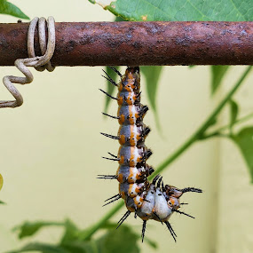 Gulf Fritillary Caterpillar  by Colin Toone - Animals Insects & Spiders ( caterpillar, butterfly, gulf )