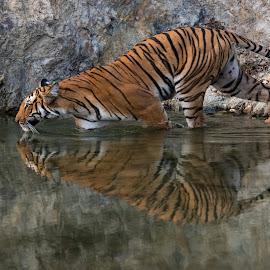Dhikala Paarvaali Tiger by Ganesh Namasivayam - Animals Lions, Tigers & Big Cats ( tigress, corbett, dhikala, tiger in action, tiger with reflection )
