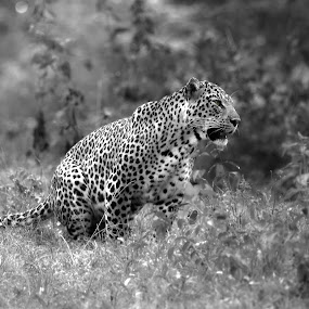 The majestic warrior by Praveen Premkumar - Black & White Animals ( big cat, wild, sharp, nature, stare, dare )
