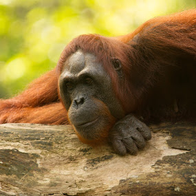 Bornean orangutan (Pongo pygmaeus) by Marc Zangger - Animals Other Mammals ( great apes, orange, daydeaming, pongo pygmaeus, wildlife, bornean orangutan, hominidae )