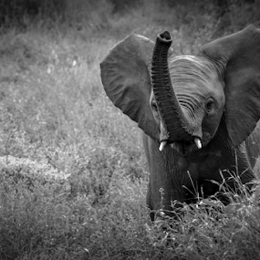 Ellie B&W by Mauritz Janeke - Black & White Animals ( elephant bull, elephant, young elephant, pscc, lrcc,  )
