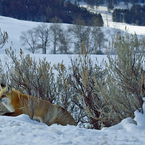 Emerging... by Diana Treglown - Animals Other Mammals ( mountains, yellowstone, sage, winter, fox, snow, forest )