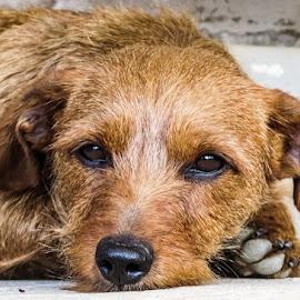 Sad dog by Jana  Malherbe - Animals - Dogs Portraits ( doggie, sad, brown eyes, dog, dog portrait,  )