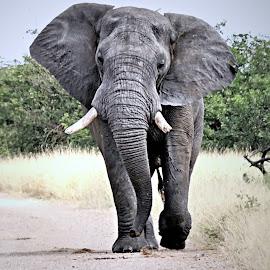 Make Way! by Pieter J de Villiers - Animals Other