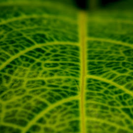 Leaf Veins by Ramakrishna Nistala - Nature Up Close Leaves & Grasses
