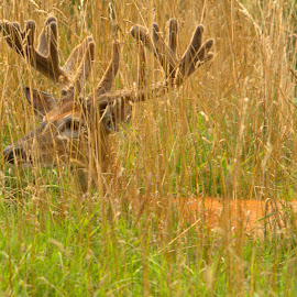 In the Grass by Kevin Frick - Animals Other Mammals ( west virginia, grass, antlers, buck, deer )