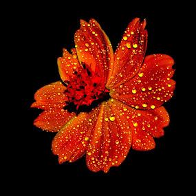 zenia by B Thottoli - Nature Up Close Flowers - 2011-2013