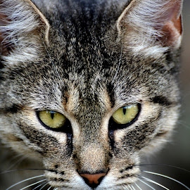 portrait of a cat by Jelena Djomparin - Animals - Cats Portraits ( kitten, cat, pet, portrait, domestic cat,  )