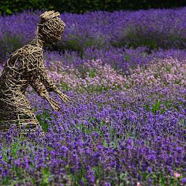 Lavenders by Stephanie Veronique - Landscapes Prairies, Meadows & Fields ( field, nature, purple, flowers, landscape, lavenders, colours )