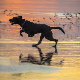Happy Dog by Jerry Cahill - Animals - Dogs Running ( beach sunet, sunset, beach, dog, birds,  )