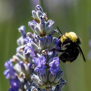 Bee on Lavender 13 07 18.jpg