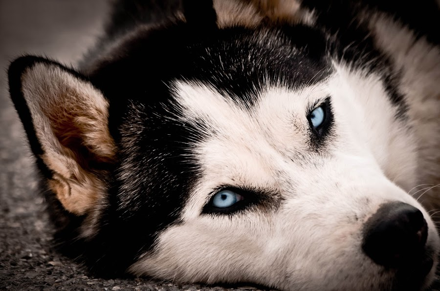 It feels so good... by Daniel Mlakar - Animals - Dogs Portraits ( look, beautiful, husky, nice, eyes )