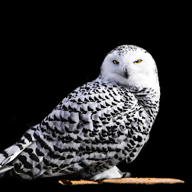 Hedwig 1 on black by Dan Miller - Novices Only Wildlife (  )