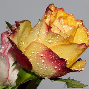 two roses by LADOCKi Elvira - Flowers Flower Arangements ( nature, flowers, garden,  )