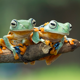 Javan gliding tree frog by Kurito Afsheen - Animals Amphibians ( canon, macro, frog, tree frog, amphibian, animal )