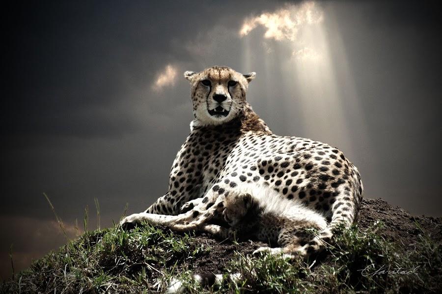 Cheetah With Cub by Elsen Karstad - Animals Other Mammals ( cheetah, masai mara, e. karstad )