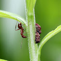 Treehoppers (with Ant)