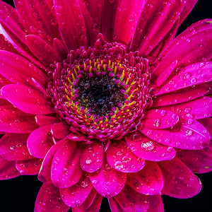 Untitled1 edited,stacked,flower,water,drops,purple.cropped.jpg