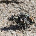 Festive Tiger Beetles