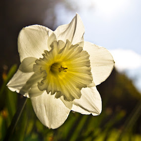 Daffodil day 2012 by Bronwyn Holmes - Nature Up Close Flowers - 2011-2013