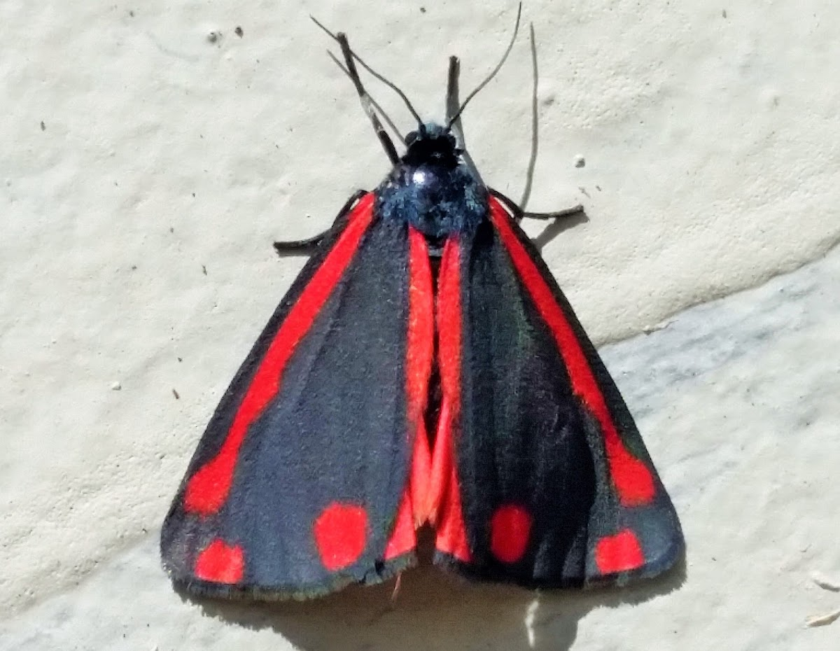 Cinnibar moth (Tyria jacobeae), spotted by user Brian38 on Project Noah.