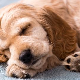 Sleeping now, mom. by Susan Pretorius - Animals - Dogs Puppies