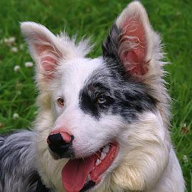 Otis by Chrissie Barrow - Animals - Dogs Portraits ( tongue, male, white, teeth, portrait, eyes, border collie, pet, ears, fur, grey, blue merle, dog, nose, black )