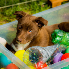 Puppy box by Jenny Trigg - Animals - Dogs Puppies ( collie, toys, puppy, dog, sun )
