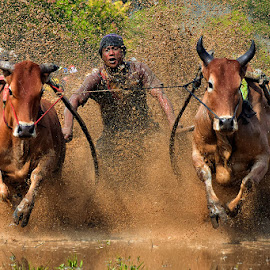 cow race by Deki Hendrik - Sports & Fitness Other Sports ( mud, sports, culture )