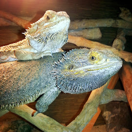 Bearddragons by Redski Pictures - Animals Reptiles ( sand, mail, reptiles, animals, wood, bearddragons, female, eyes )