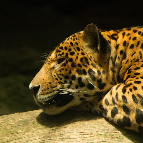 Jaguar by Marc Zangger - Animals Lions, Tigers & Big Cats ( jaguar, big cat, panthera onca, wildlife, sleeping, head )